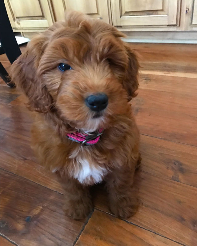 About Mini Goldendoodles Puppies For Sale By Timber Creek Doodles In Utah