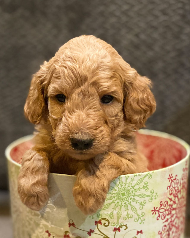 Available Mini Goldendoodle Puppies For Sale By Timber Creek