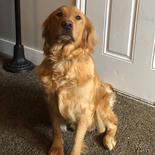 Meet our Goldendoodle Parent Dogs | High Quality Mini