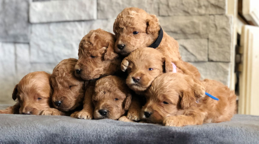 Mini Goldendoodles and Mini Bernedoodles in Utah by Timber
