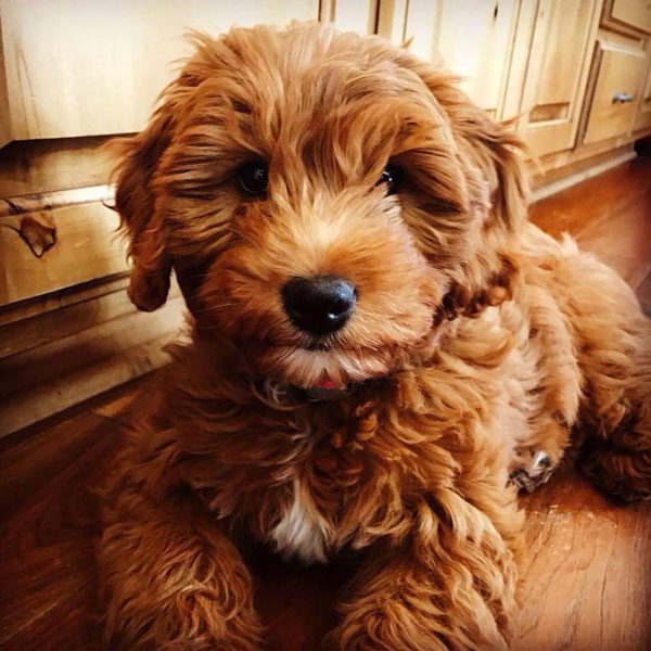 Goldendoodle Puppy Schedule For Mini