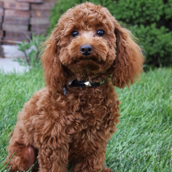 Goldendoodle Puppy Schedule for Mini Goldendoodles | Timber
