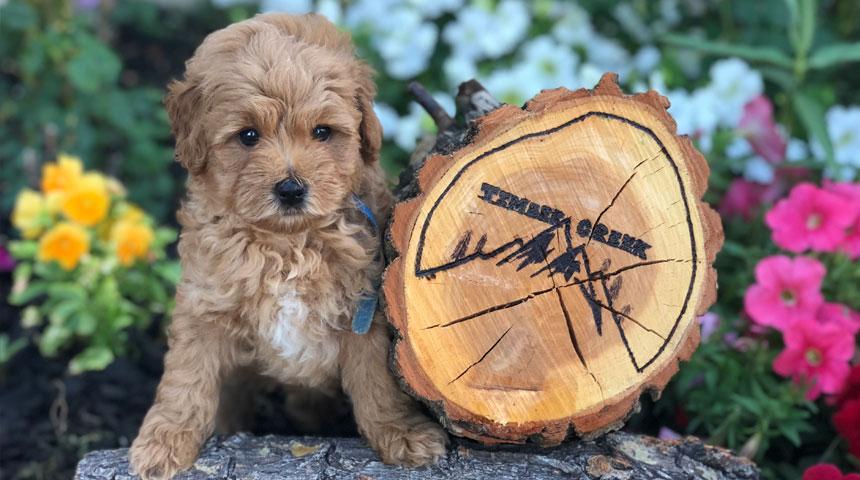 Mini Goldendoodles And Mini Bernedoodles In Utah By Timber